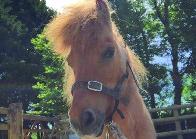 Shetland Pony2
